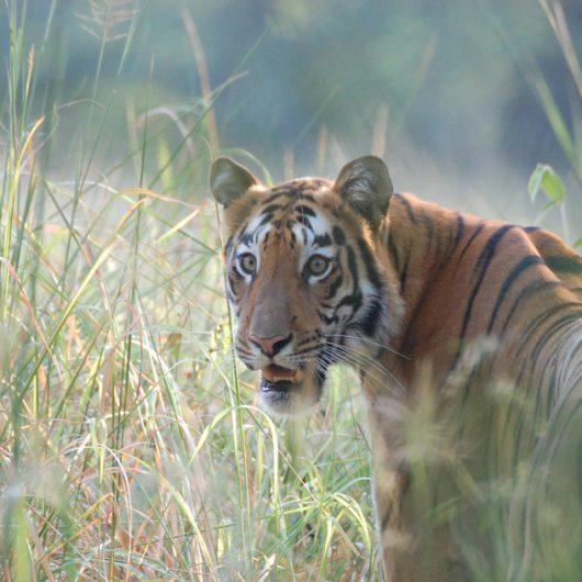 Auf den Spuren des Tigers | Individualreise