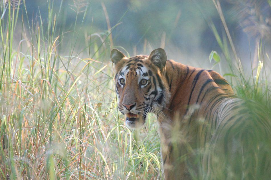 Tiger-Tadoba-tt