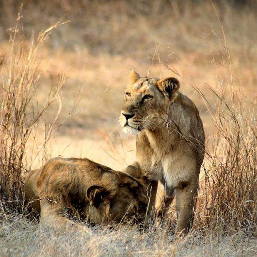 Löwen, Tiger und das Taj Mahal   Gruppenreise   deutschsprachig